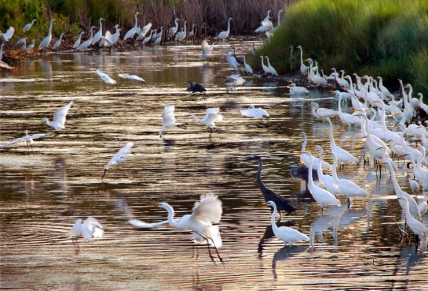 Egrets and Herons, St. Marks National Wildlife Refuge, Florida, USA