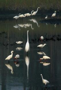 Egrets and Herons, Panacea, Florida, USA
