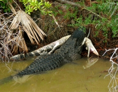 Alligator Cannibalism. St. Marks National Wildlife Refuge, Florida, USA