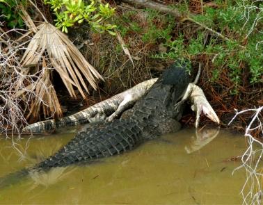 Alligator Cannibalism. St. Marks National Wildlife Refuge, Florida, USA