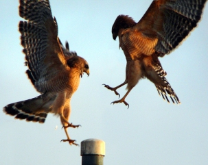 Hawks Compete for Perch, Central Florida, USA