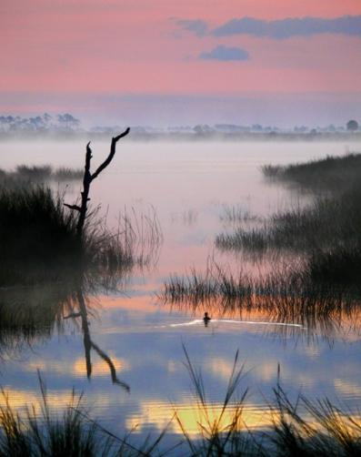 Lone Duck at Dawn, St. Marks National Wildlife Refuge, Florida, USA