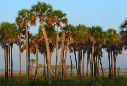 Palmscape, Hickory Mound National Wildlife Refuge, Florida, USA