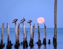 Pelicans at Moonset, St. Marks National Wildlife Refuge, Florida, USA