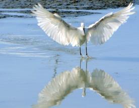 Snowy Egret, St. Marks National Wildlife Refuge, Florida, USA